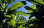 banana-trees-musa-jungle-low-angle-view
